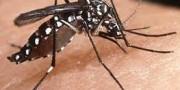 mosquitoChikungunya