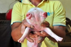 """Pic shows: Zhong Xulong and the piglet. A two-headed pig born has already attracted hundreds of curious visitors who could scarcely believe it was real even when they saw it with their own eyes. The adorable little creature, just a few days old, has two heads and two mouths, but bizarrely only three eyes. Farmer Zhong Xulong, from the village of Fengtian in Luzhou City, in south-western Chinaís Sichuan Province, said he noticed the """"special"""" piglet as soon as it was born along with 13 of its siblings. One of the piglets in the litter is said to have died soon after being born, but surprisingly the two-headed animal survived. Xulongís dad, Zhong Guoyuan, said the family has been raising the sow for more than three years, and that it was the first time she had given birth to such a piglet. He also claimed not to have noticed anything strange prior to the sow giving birth to her latest litter. The piglet has four legs and seems to be able to eat and breathe with either head, Xulong said, adding that he is not able to explain the bizarre """"third eye"""" in the middle of its two faces. Xulong said: """"Lots of people have come to see the pig already. Someone even offered 2,000 RMB (209 GBP) to buy it off us, but I refused. """"I want to raise it and see it grow up - weíll see what happens after that."""" Despite having two mouths from which it can feed, the piglet is now being given special attention by the family, who are hand-rearing it with baby formula and also keeping it in a special box. The tiny piglet celebrity is also being separated from the rest of its siblings so incredulous villagers can come and see the it with their own two eyes. (ends)"""
