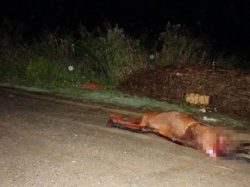 cavalo_acidente